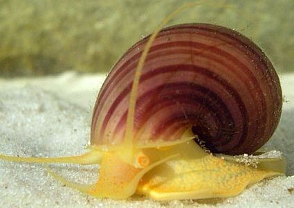 Ampullariidae
