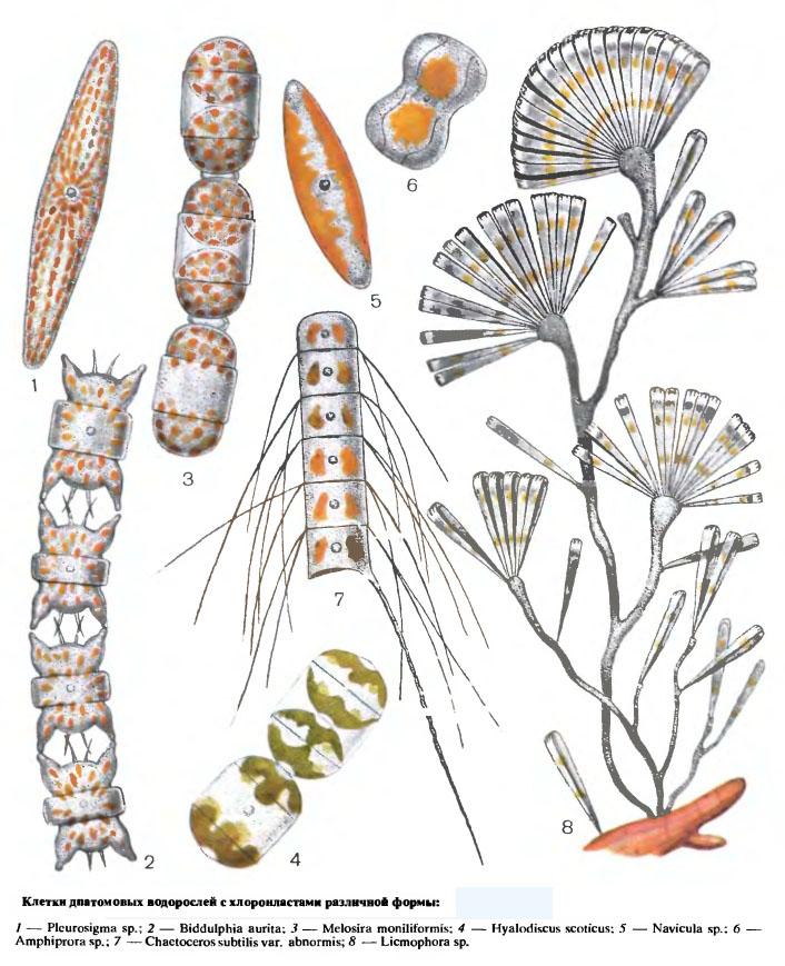 диатомеи (Diatomeae)