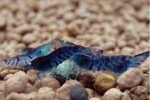 Blue Bee Shrimp