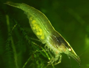 green shrimp