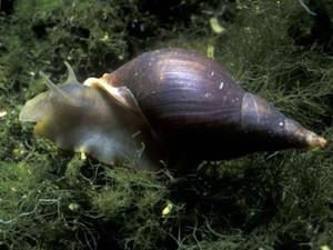 Улитка Прудовик Обыкновенный (Lymnaea stagnalis)