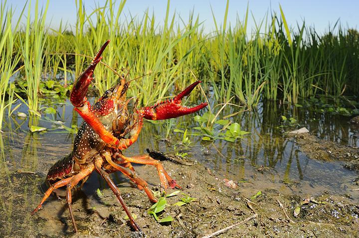 флоридский болотный рак .