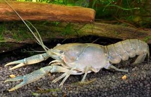Procambarus cubensis