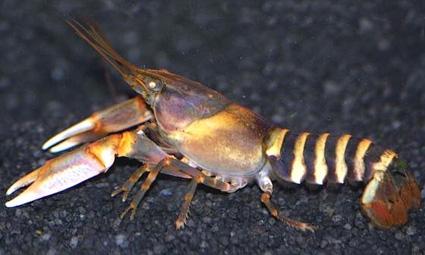 cherax papuanus