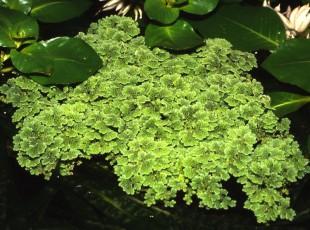 Азолла каролинская или водяной папоротник