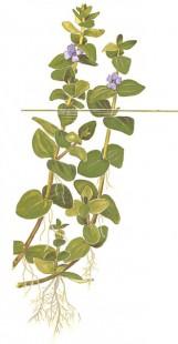 Бакопа каролинская
