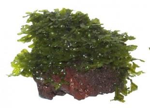 Моносолениум тенерум