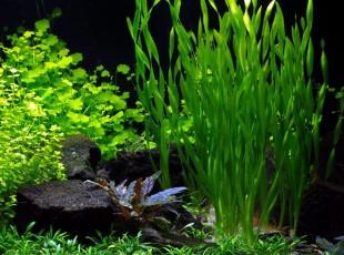 """Vallisneria sp. """"Asiatica"""""""