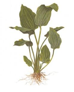 Эхинодорус лопатолистный