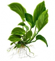 "Anubias barteri var. ""Caladiifolia"""
