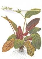 """Echinodorus """"Ozelot"""""""