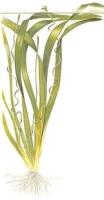 Vallisneria sp. Gigantea