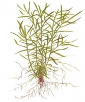 Heteranthera zosterifolia