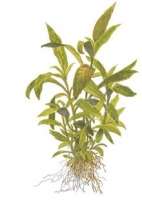 Hygrophila corymbosa 'Siamensis'