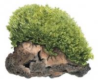 Monosolenium tenerum