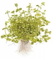 Bacopa australis