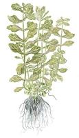 Shinnersia rivularis 'Weiss-Grun'
