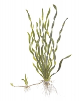 Vallisneria sp. \'Mini Twister\'
