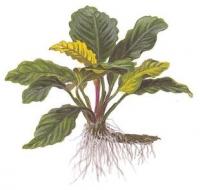 Anubias barteri var. coffeefolia