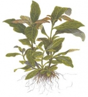 Hygrophila corymbosa