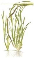Vallisneria sp. 'Natans'