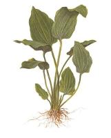 Echinodorus palaefolius var. latifolius