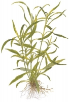 Hygrophila corymbosa 'Angustifolia'