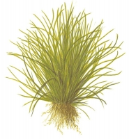 Lilaeopsis mauritiana