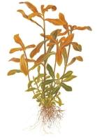 Nesaea crassicaulis