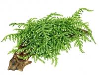 "Vesicularia ferriei \""Weeping Moss\"""